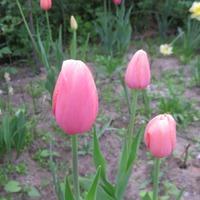 Еще тюльпаны этого года.