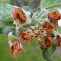 Неистребимый грушевый цветоед