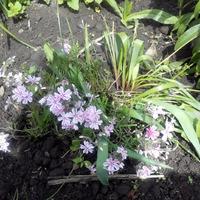 Флоксики цветут