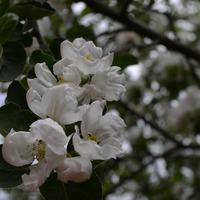 Цветение плодовых.