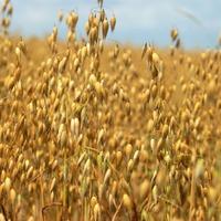 Как распознать болезни овса?