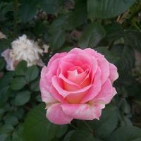 Просто фото роз ( если поможете с названием, то вообще чудо)