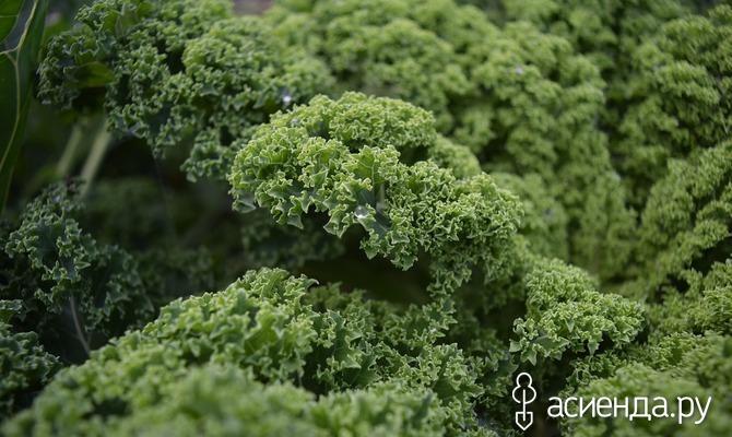 Зеленные культуры в июне