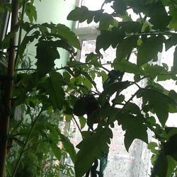Якобы низкорослые помидорки растут у Кукарачи дома
