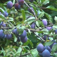 Болезни и вредители сливы: сливовый галловый клещ