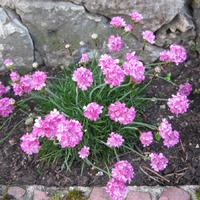 Армерия приморская - цветочные ежики