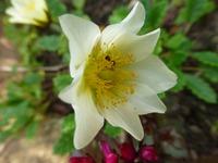 Дриада восьмилепестковая ( Dryas octopetala ). Растение для альпийской горки.