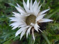 Карлина (Колючник бесстебельный). Растение для альпийской горки.