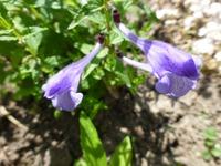 Шлемник альпийский (Скутелярия) с.Romana. Растение для альпийской горки.