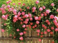 Как ухаживать за розами летом?