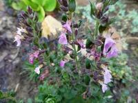 Душевик котовниковый (Каламинта котовниковая)Calamintha nepeta. Растение для альпийской горки.