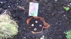 НОВЫЙ способ посадки тюльпанов с защитой от мышей и крыс!!!