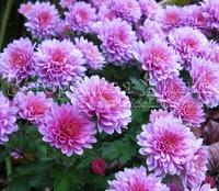 Зимовка хризантем, а нужна ли...