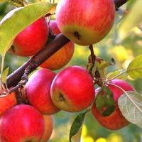 Монилиоз у яблок