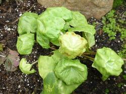 Подофил в моем саду.
