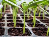 Выращиваем рассаду на продажу