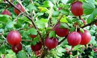 Почему крыжовник приносит мало плодов
