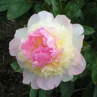 Пион Raspberry Sundae (Распберри Сандей)