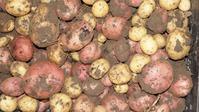 Выращиваем второй урожай картошки