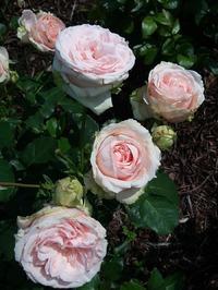 Розы, розы... много роз не бывает!