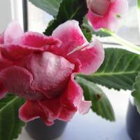 Цветет глоксиния Брокада Ред