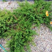 Как вырастить хвойный сад с минимальными затратами. Часть 2