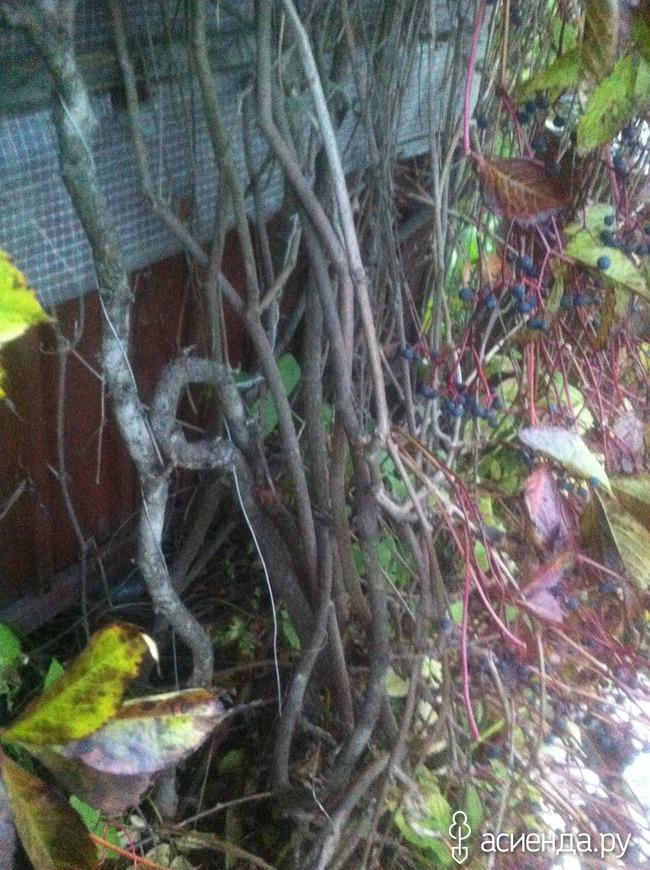Нужно ли обрезать девичий виноград осенью
