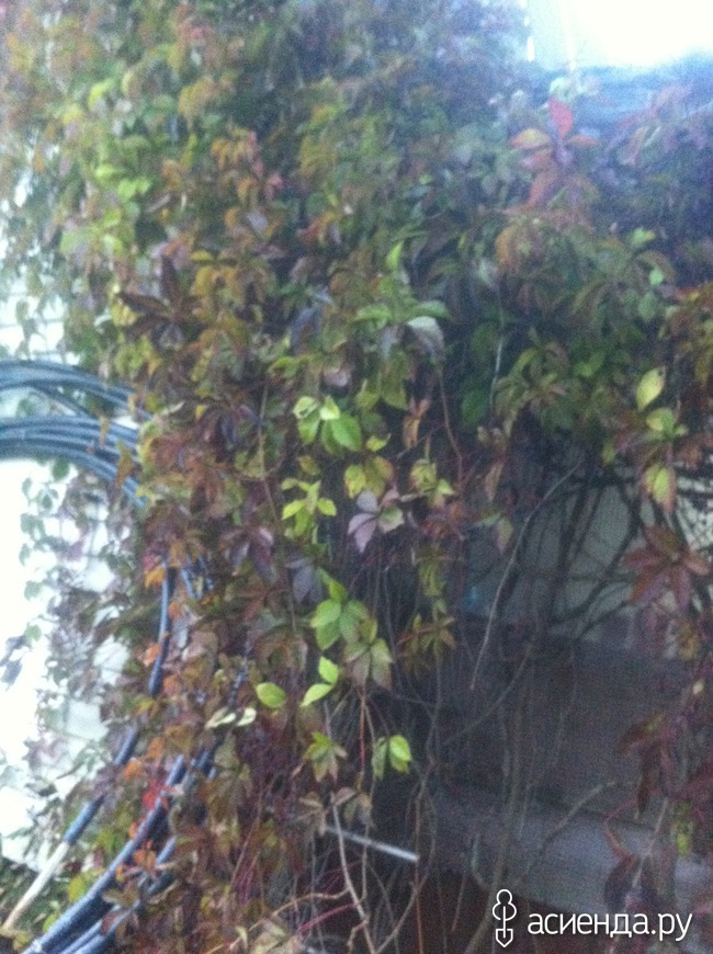 Надо ли осенью обрезать девичий виноград