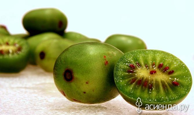 Актинидия: оригинальная лиана в вашем саду