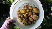 Картошка в чем попало - урожай!