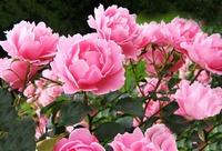 Какие цветы посадить в саду?