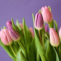 Выгонка тюльпанов осенью