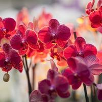 Виды и сорта орхидеи