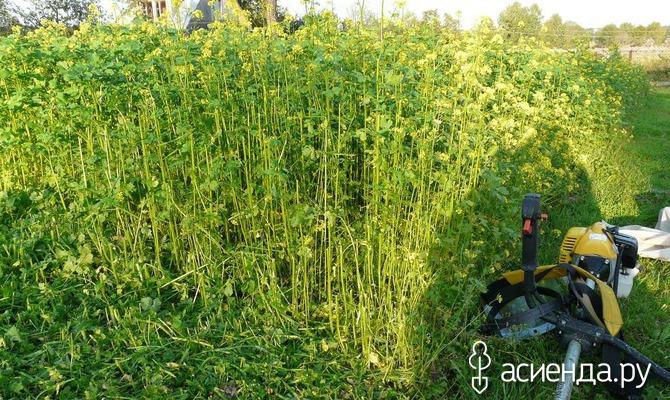 Растения - сидераты