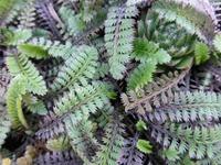 Мои новые растения - Котула или лептинелла шероховатая