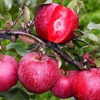 У кого есть такая яблоня?