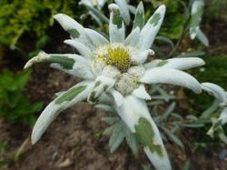Эдельвейс. Растения для альпийской горки.