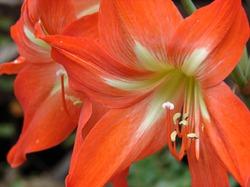 Гиппеаструм: период покоя и подготовка к цветению