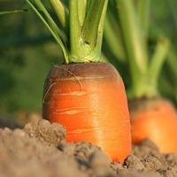 Тонкости уборки и хранения морковки
