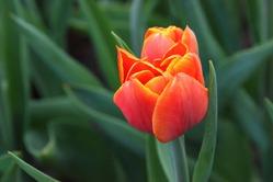 Тюльпаны: подготовка к посадке в сентябре