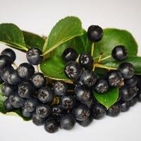 Арония: способы размножения черноплодной рябины