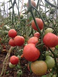 И не только помидоры: подвожу итог.