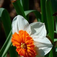 Нарцисс: размножение в сентябре