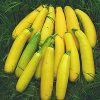 Урожайный кабачок
