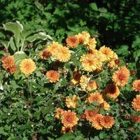 Зацвели уж давно хризантемы в саду...