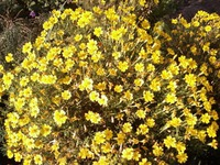 Бархатцы мелкоцветковые, тагетес