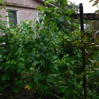Ягода малина нас к себе манила, ягода малина осень в гости звала!