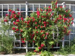 Делаем опору для плетистой розы