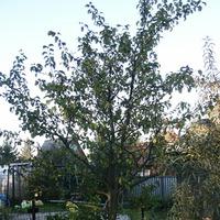 Неизвестное яблочное деревце.