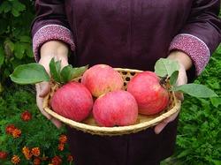 Можно ли снять неповрежденными яблоки с верхушки яблони? Да запросто!